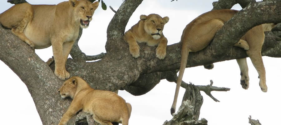 Tree climbing lions in Lake Manyara National Park