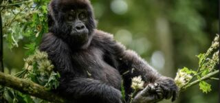4 Days Uganda Gorillas and Golden monkey Safari