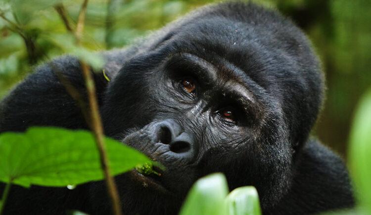 5 Days Nyiragongo hike and Bwindi Gorilla safari