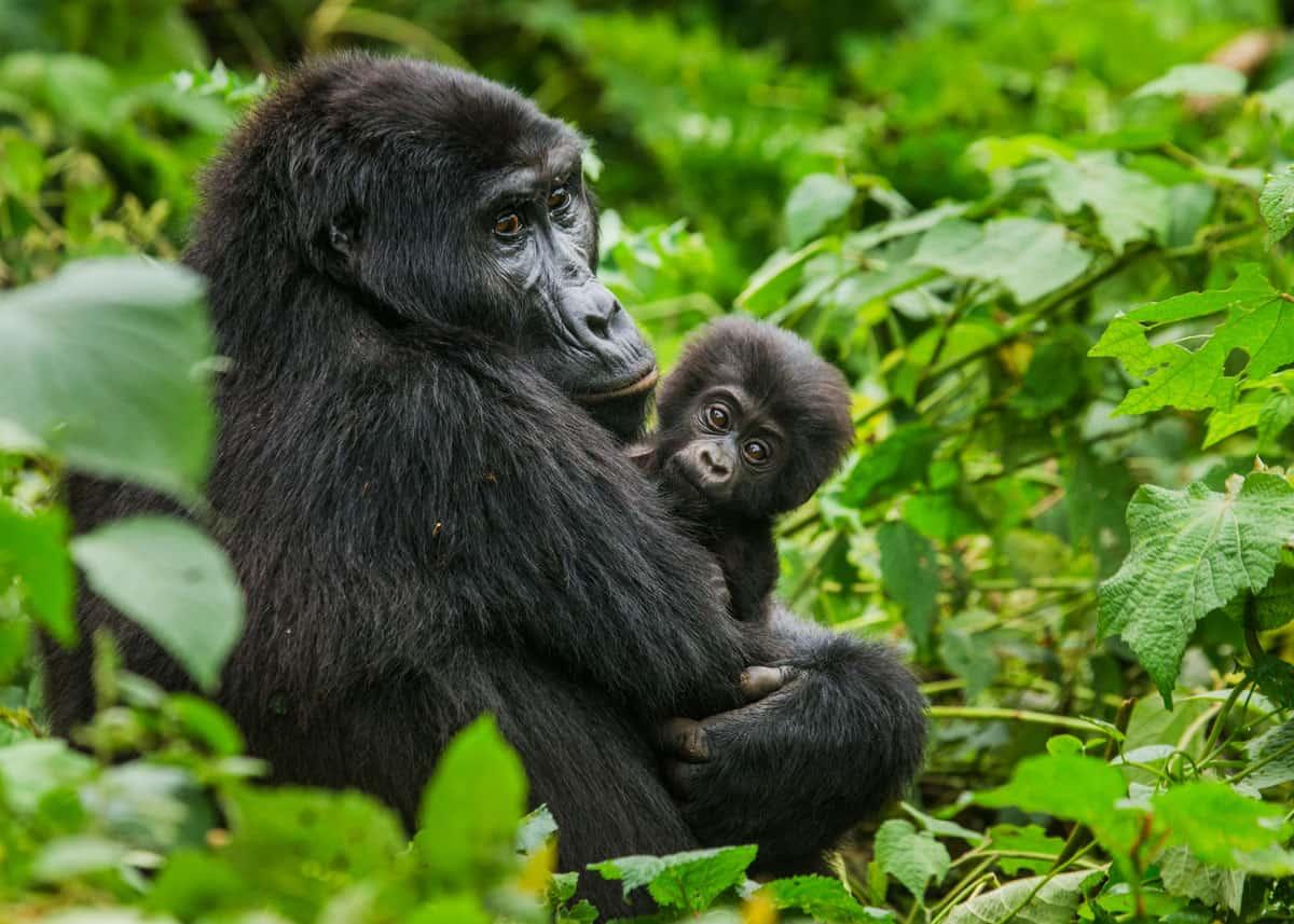 6 Days Uganda Gorilla Trekking & Wildlife Safari