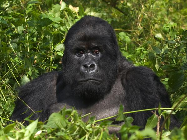 5 Days Bwindi Gorilla & Volcanoes Golden Monkey Safari
