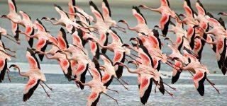 Flamingos in Lake Manyara National Park