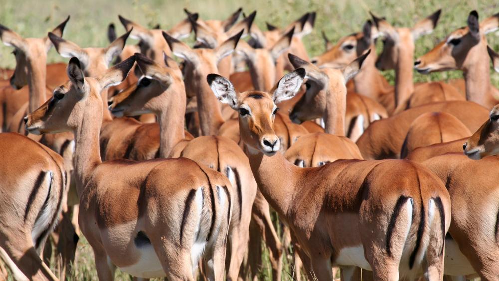 Antelopes in Serengeti National Park